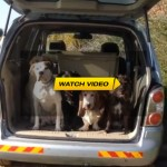 Well Behaved Dogs Exit Car One By One