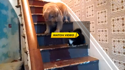 Mean Cat Won't Let Dog Down The Stairs