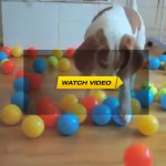 Dog Surprised With 100 Balls For Birthday
