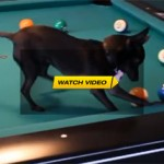 Chihuahua Dog Playing Pool
