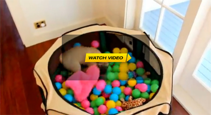Pug Goes Crazy In Ball Pit