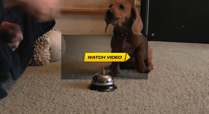 Dachshund Rings Bell For Treats