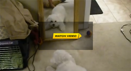 Dog Vs. Mirror